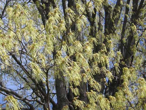 Mapleflowers