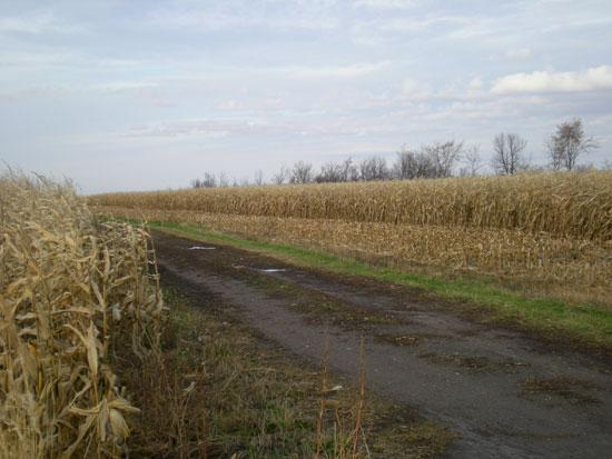Dried-cornfield