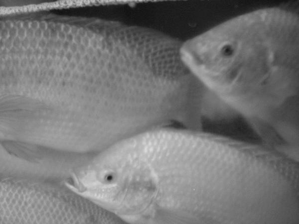 Fish-in-tank