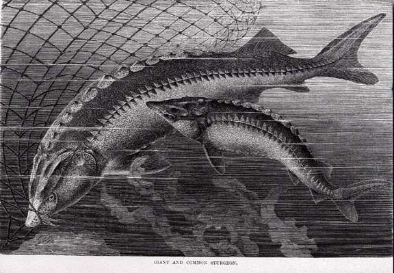 Sturgeon
