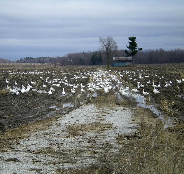 Snow-geese_edited_2