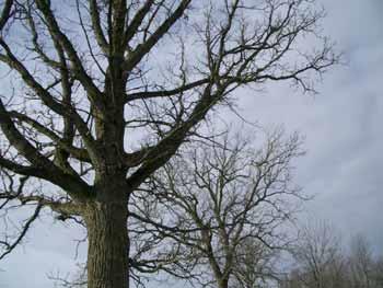 Bare-oaks
